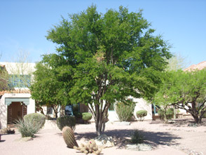 Gilbert Arizona Tree Nursery
